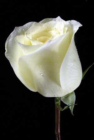 http://azwarti.files.wordpress.com/2008/08/white-rose.jpg
